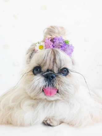 Peinados para perros: Kuma, la perrita que arrasa en Instagram