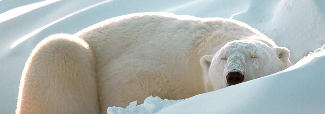Oso polar durmiendo