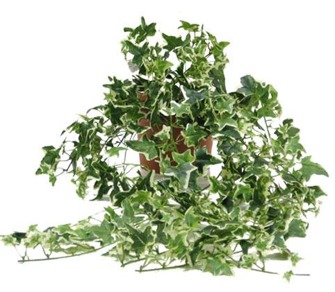 Hiedra de hojas pequeñas: ideal para maceta interior