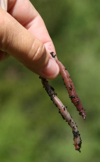 La lombricultura, opción ecológica y viable
