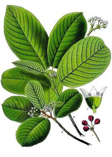 Plantas medicinales estimulantes para perder peso: Cáscara Sagrada