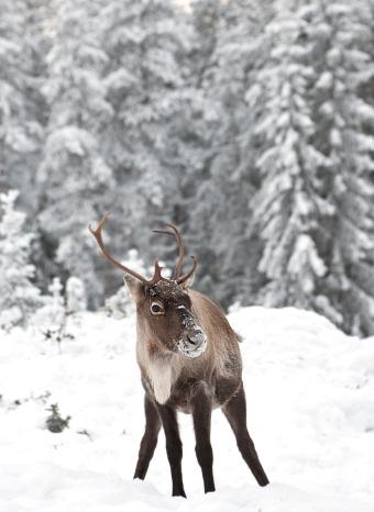 Un ciervo en Laponia