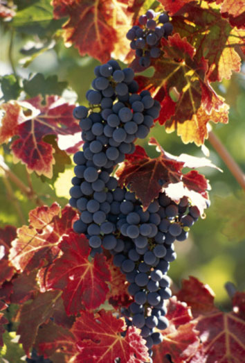 fruta de otoño, uvas