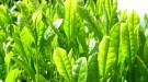 Té verde contra el cáncer