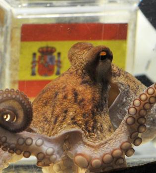 El pulpo Paul vaticina que España ganará el Mundial