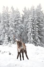 Imagen de un reno en Laponia