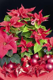 Planta típica navideña