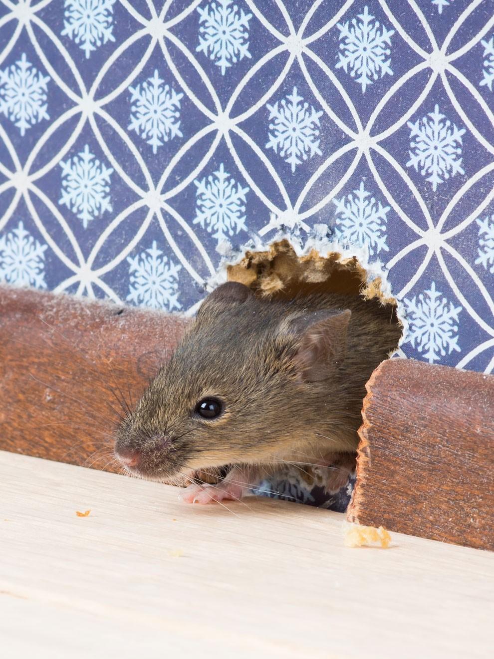 Dónde buscar ratas dentro de un edificio