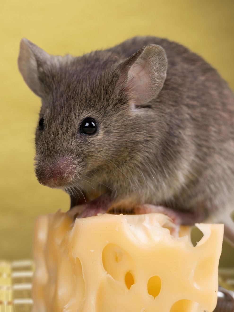 Musofobia Cuando El Miedo A Los Ratones Y A Las Ratas Paraliza Tu Vida