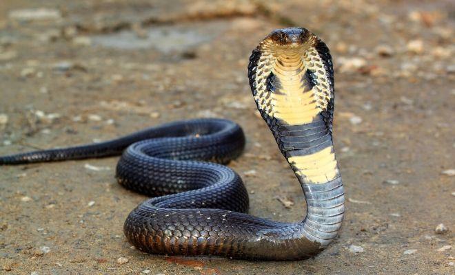 Animales - Naturaleza - Página 3 Sonar-cobra