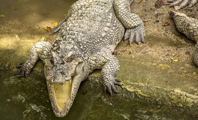 El peligroso significado de soñar que un cocodrilo se come a