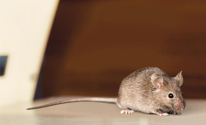 Descubre Significado De Con El Soñar Ratones; Roedores CxedBoWr