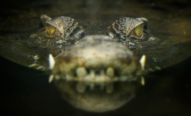 El significado de soñar con cocodrilos