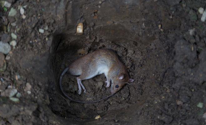 No tengas miedo de tus sueños con ratas