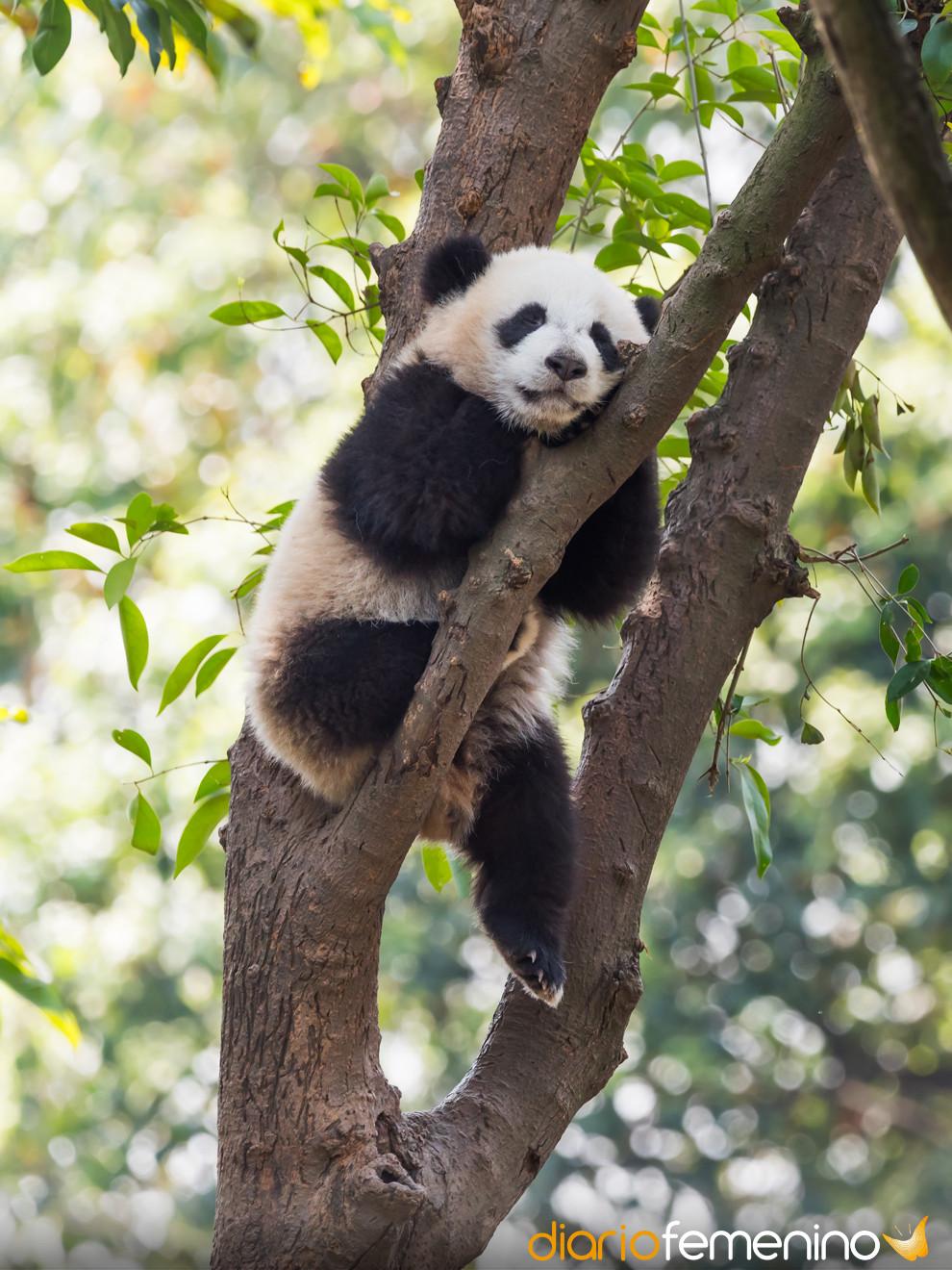 Soñar con un oso panda: animales que no son de fiar