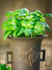 Albahaca para un jardín bonito y una cocina saludable