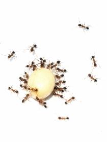 Remedios caseros para eliminar las hormigas de nuestra casa