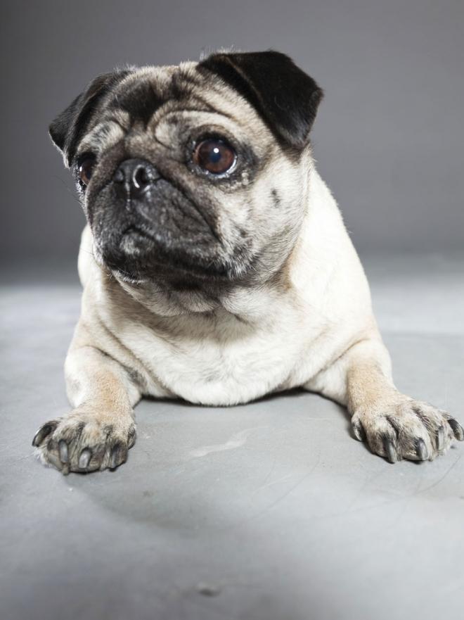 Los nombres que tu perro pug o carlino necesita