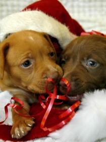Navidad perruna en fotos, vídeos y gifs: los perros más navideños