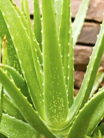 6 remedios caseros con aloe vera