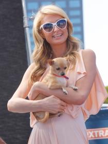 Perros de famosos: Paris Hilton y su amor por los chihuahuas