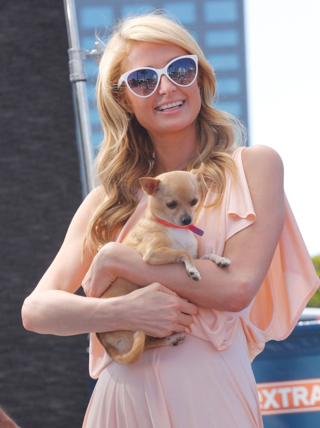 Perros De Famosos Paris Hilton Y Su Amor Por Los Chihuahuas