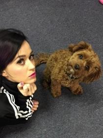 Perros de famosos: Butters, el lindo Covapoo de Katy Perry