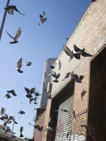 Pesadillas con palomas: sueños de tu tranquilidad en juego