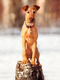 10 nombres ideales para perros de la raza terrier