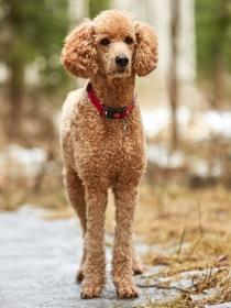 Los 10 mejores nombres para perros de raza caniche o poodle