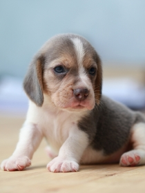 Los mejores nombres para perros beagles inspirados en ciudades