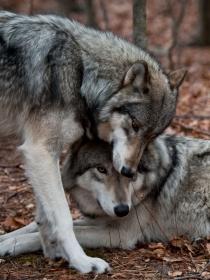 Soñar con lobos: la fuerza que te dan tus sueños