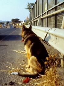 La historia del perro abandonado que esperó a su dueño en una cuneta