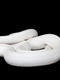 Soñar con serpientes blancas: el símbolo de las personas auténticas