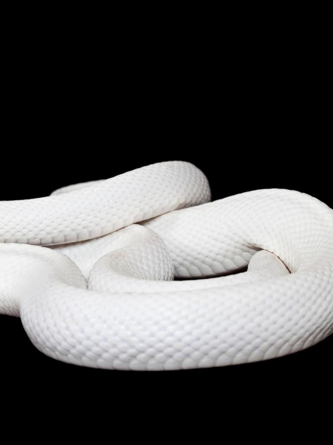 Soñar con serpientes blancas  el símbolo de las personas auténticas 1d3e1596b0df