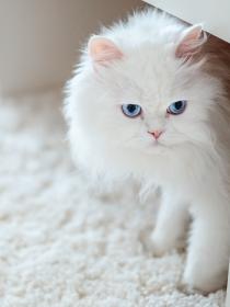 Disfruta de todo el bienestar al soñar con gatos blancos