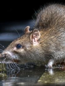 Soñar con miles de ratas: ¡cuidado!