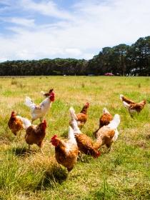 Soñar con pollos: tu independencia, en juego