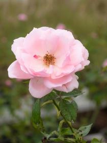 ¿Qué es la rosa mosqueta?