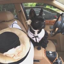Disfraces perros: La mascota de Lady Gaga