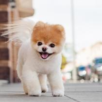 Boo, el perro más bonito del planeta