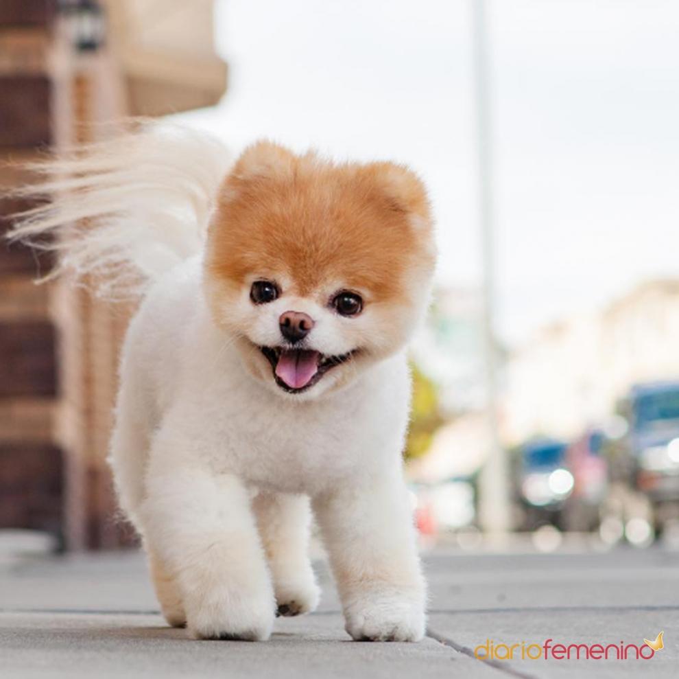 Boo el perro m s bonito del planeta for El bano mas bonito del mundo