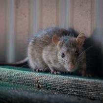 ¿Alguna vez has soñado con ratas?