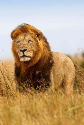 Significado de los sueños con leones: soñar con el liderazgo