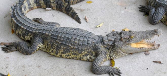 Significado de soñar con cocodrilos