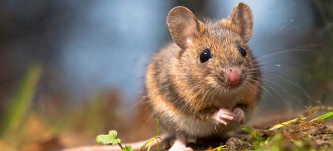 Tengo ratones en casa gallery of cmo matar ratas grandes en casa formas maneras venenos with - Ratones en casa ...