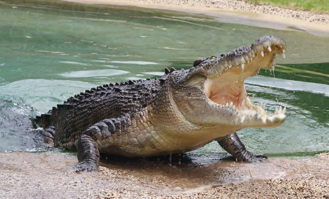 Qué significa soñar que te muerde un cocodrilo